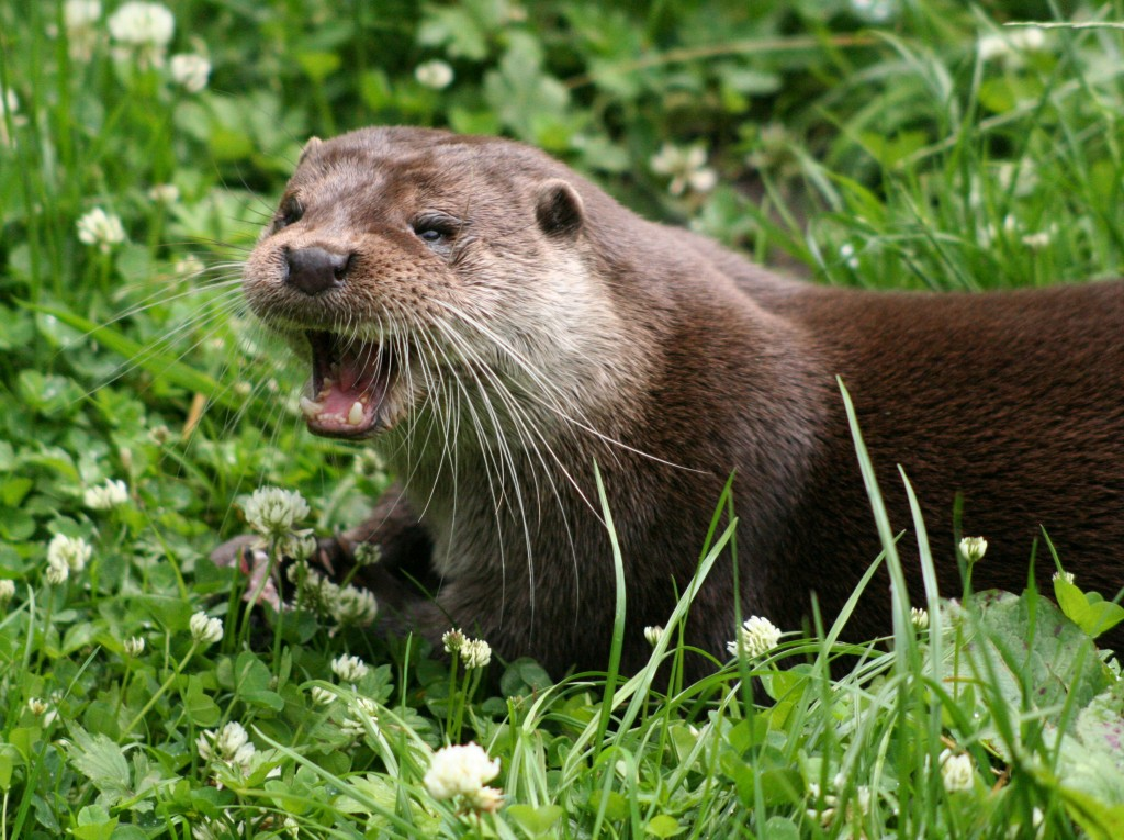 Eurasian Otter (image: Wikimedia Commons, by Dave Pape)