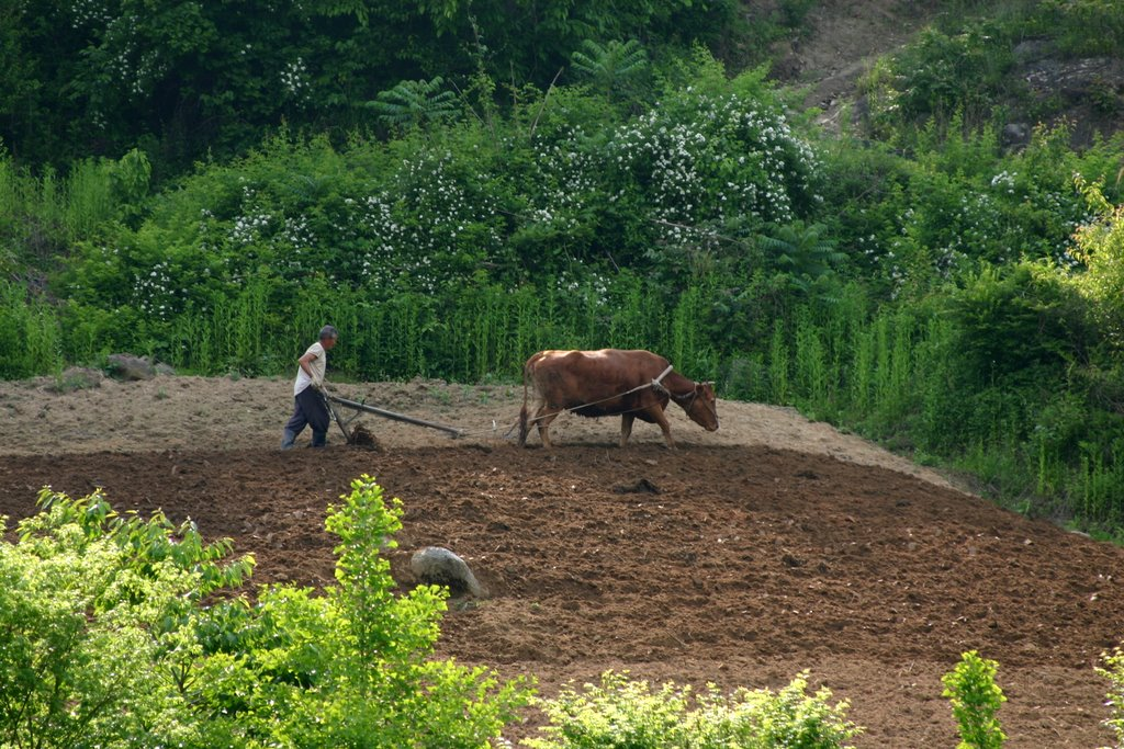 A old farmer plowing a field with a cow, Yecheon, South Korea (Wikimedia Commons, by Robert at Picasa)