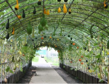 RDA to Cultivate Unique 'Pumpkin Tunnels' for the Summer