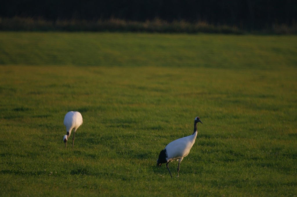 The red-crowned crane, the large East Asian crane considered one of the rarest bird species in the world, has been picked as a species representing the DMZ. (image: Flickr, by Alastair Rae)