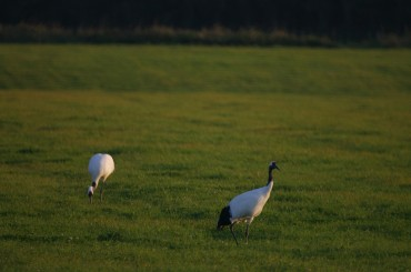 Red-crowned Crane Selected as a Species Representing DMZ