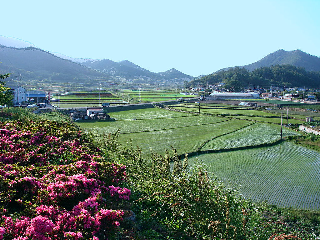 Rice fields in rural Goheung, South Korea (Wikimedia Commons, by Steve46814)