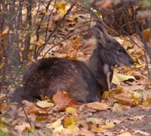 the Siberian musk deer (image: Wikimedia Commons, by Maksim)