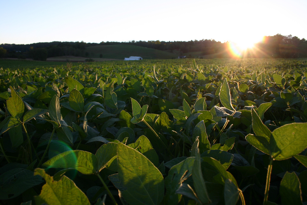 Sunset over Soybean Field. (image: Delta Whiskey/Flickr) Tofu, also called bean curd, is a food made by coagulating soy milk and then pressing the resulting curds into soft white blocks.