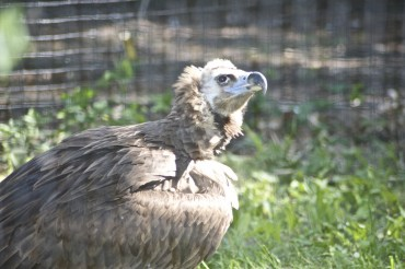 Why Vultures Don't Get Sick from Food Poisoning