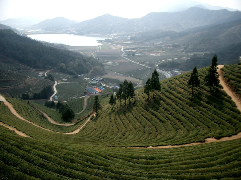 As many as 725,000 (63.5%) farming households earned less than 10 million won in 2013 from selling farm goods and livestock. (image: Boseong green tea field/Wikimedia Commons)