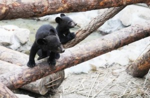 The National Park Service's rangers found on March 25 two additional cubs while replacing the radio transmitter of a female bear, making the number to 35 from 28 last year including five newborn babies over the winter.(image:The Ministry of Environment)