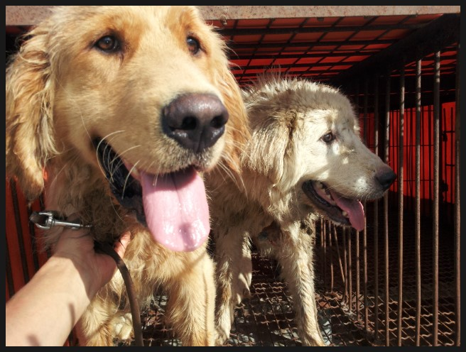 Dogs rescued from the illegal dog-breeding houses (koreandogs.org/Creative Commons)