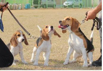 South Korea's 14 Cloned Sniffer Dogs Play Outstanding Jobs at Airports and Ports