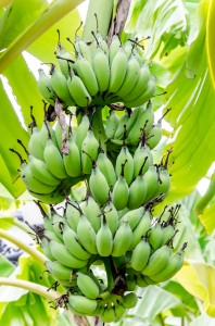 Today, bananas are grown in at least 107 countries and are ranked fourth among the world's food crops in monetary value. (image: Kobizmedia/ Korea Bizwire)