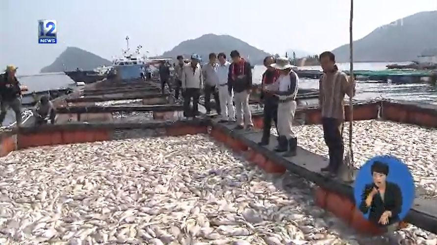 From September 2 when an red tide alert was issued until now, fish farms including Namhae-gun, Goseong-gun and gulfs of Tongyeong lost approximately 1.2 million red sea-bream and rockfish, making 2,885 million won, equivalent to US$2,786,000, losses. (image: screen shot image of KBS)