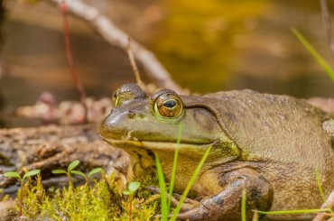 Bullfrog Breaks Korea's Ecological System…NIER