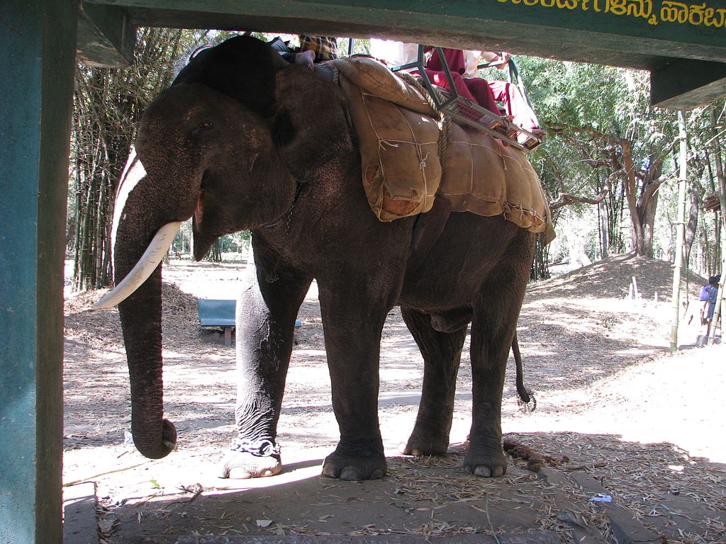Around 16,000 Asian elephants are suffering in captivity worldwide, according to the WAP. (image: Wikimedia Commons)