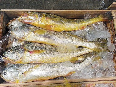 One Korean Croceine Croaker Selling for USD 500 Among Chinese