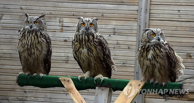 Three Artificially Hatched Eagle-owls Return to Nature