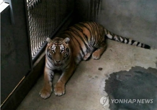 Zoo Kept Female Tiger Reported To Have Eaten Its Own Offspring Out of Stress