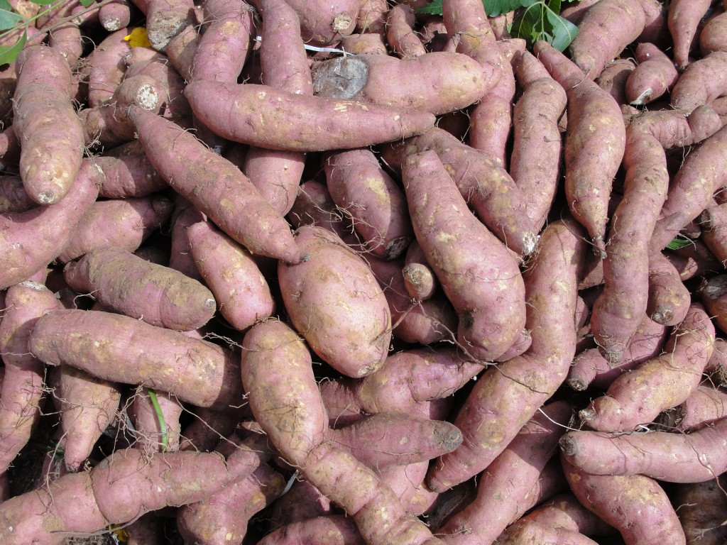 "The 20 tons of sweet potato aid at the end of last year were intended as nutritional assistance for babies and infants including those at an orphanage in the Sinuiju area,"" said the South Korean government. (image: Wikimedia Commons)"