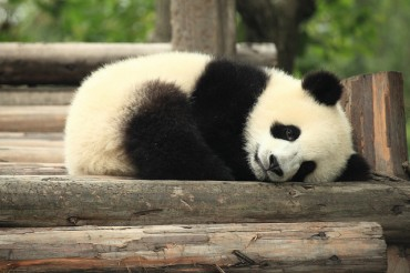 China Preparing to Send Pandas to S. Korea