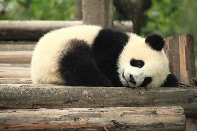 Sending pandas is a time-honored goodwill gesture by Beijing for fostering bilateral relations. (image: George Lu)