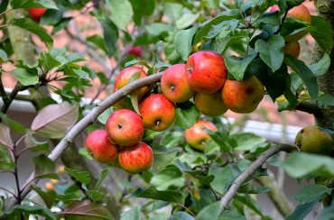 Korean Apple Cultivation to Almost Disappear by the End of the Century