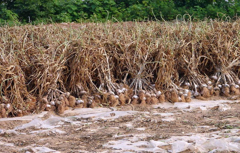 China Concerned Over Seoul's Garlic Import Refusal