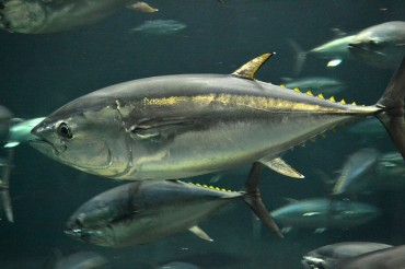 South Korea Experimenting with Bluefin Tuna Farming