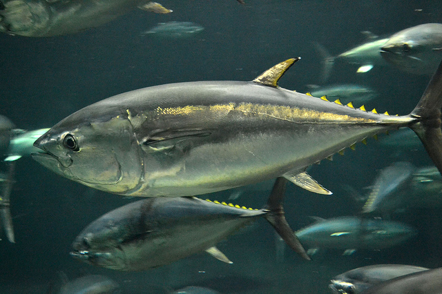 The National Fisheries Research and Development Institute (NFRDI), Jeju Ocean and Fishery Institute and Gyeongsangnam-do Fisheries Resources Research Institute reached an agreement to form a tuna farming research cluster with five private companies on March 25. (image: tomosuke214/flickr)