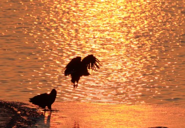 White Tailed Sea Eagles Leaving Their Winter Homes at Namdaecheon Stream