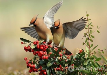 Japanese Waxwings Munch on Fruits during Rest Stop at Gyeongpo Lake