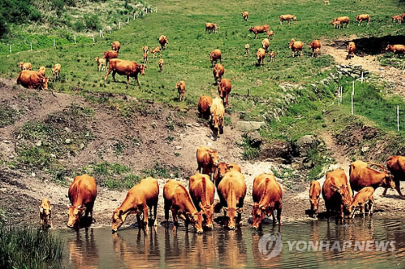 Cow dung will be collected, dried and formed into pellets, which will then be used as fuel. The power plant is expected to kill two birds with one stone by processing cattle waste and providing a supply of fuel at the same time. (image courtesy of Yonhap)