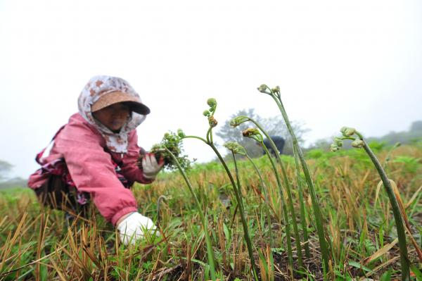 Jeju Bracken Festival Opens on May 2