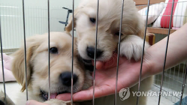 A nearby pet hospital recently donated two Golden retriever puppies for a psychotherapy program. (image: Dr. Kim Eun-Ji)