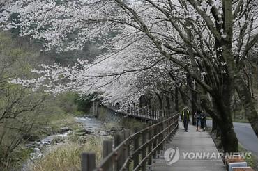 10,000 Visit Boseong King Cherry Blossom Festival
