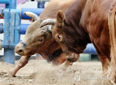 Cheongdo Bullfighting Festival Opens