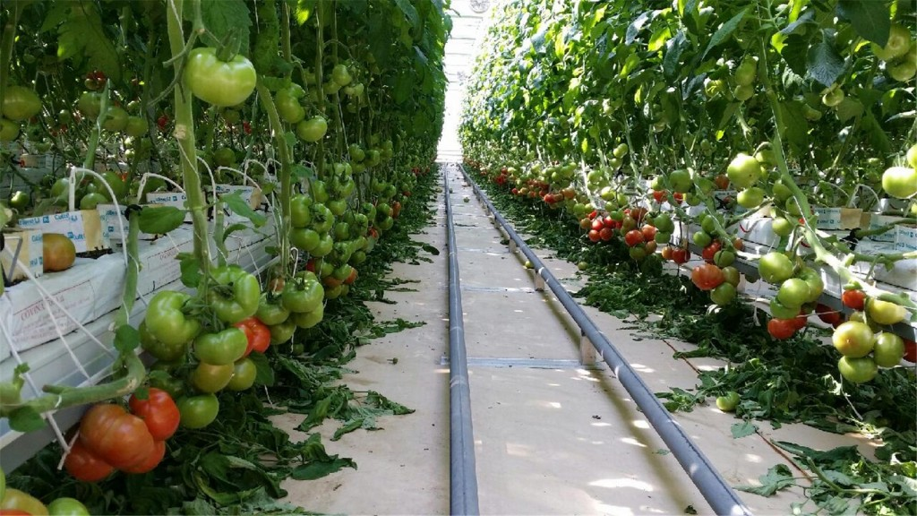 The recycling facility expects to grow 180 tons of tomatoes at the 5,945 square meter greenhouse, and to earn 400 million won (US$370,000) in additional profits. (image: Geoje City)
