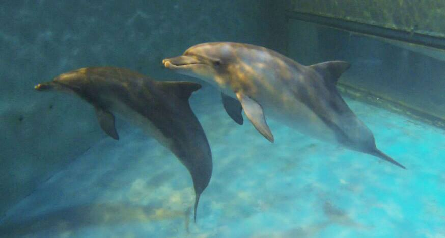 Two dolphins, named Taesan and Boksoon, will leave Seoul Grand Park on May 14 to Gadoori Training Center in Jeju, where they will be trained for one to two months. (image: Hot Pink Dolphins)