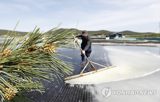 Taean Bay Farms Start to Harvest Rare Pine Flower Powder Salt