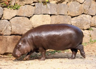 Near-Extinct Pygmy Hippopotamus Will Have A Chance to Make a Family in Korea
