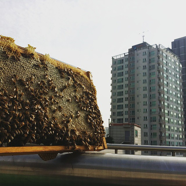 Urban bee farming is a mark of an improved city environment, as bees can only survive in habitats abundant with trees and flowers. (image: Urban Bees Seoul)