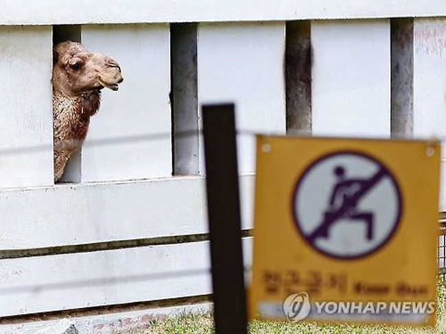 All of the camels in Korea are being quarantined, although none of them are from the Middle East. (image: Yonhap)