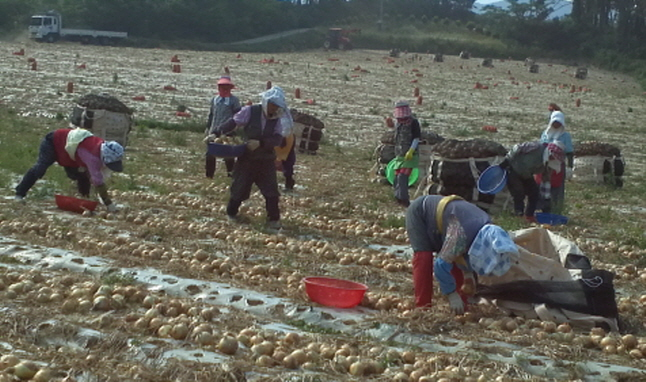 "Buan's ""Sea Breeze"" Onions Gaining Popularity for Their Unique Taste"