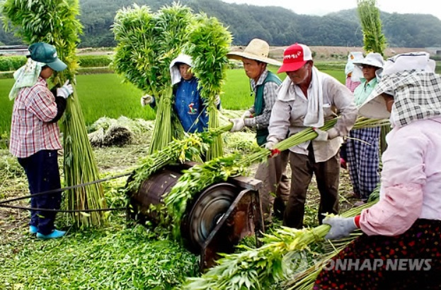 When the harvest season comes, the city government sends officials to supervise the process. After harvesting the hemp, farmers burn unused leaves and peeled stalks under the watchful eyes of the supervisors. (image: Yonhap)