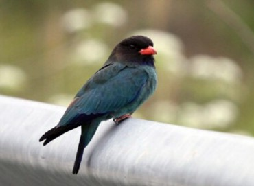 Rare Cinnamon Roller Birds Known as Blue Birds in Korean Spotted on Gageo Island