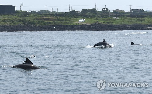 After ten days, two Indo-Pacific Bottlenose Dolphins that were released in their natural habitat, Taesan (male, 20) and Boksoon (female, 17), were spotted in a herd of Indo-Pacific Bottlenose Dolphins. (Image : Yonhap)