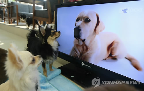 Dogs are watching TV at an animal café. 'Animal Cafés' are a new business trend. The cafés are sustained by the entrance fees paid by people who come to see the animals running free. (Image : Yonhap)
