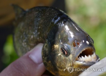 Piranhas Being Traded Online in Korea