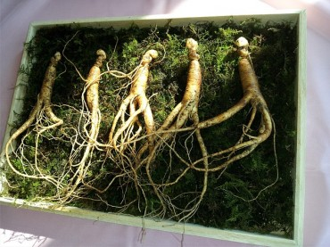 Medicine from Heaven: Hamyang Wild Ginseng Festival Opens