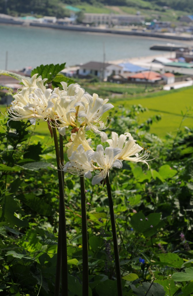 The Uido Magic Lily only grows on Uido Island. Island locals call it the 'Momburide'. (Image : Buan county)