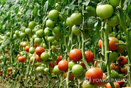 Tomatoes Can Be Shushed To Slow Down Ripening