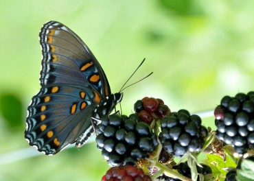 Butterfly Migrations Prove Global Warming